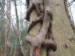 Big Knott tree1