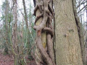 Big Knott tree2