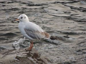 Gull on river Kent rock