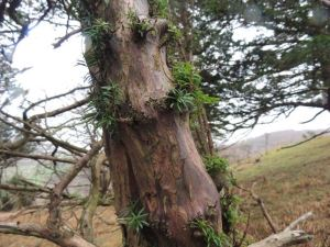 Tree trunk and evergreen ace