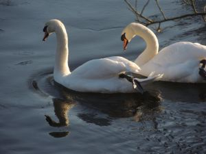 Two swans in Levens Park
