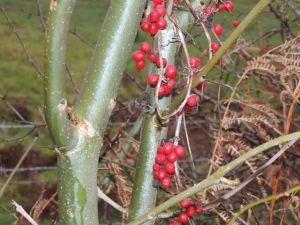 Winter berries closer