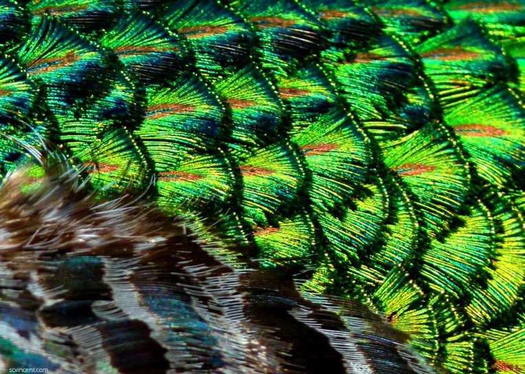 Peacock feathers (1)