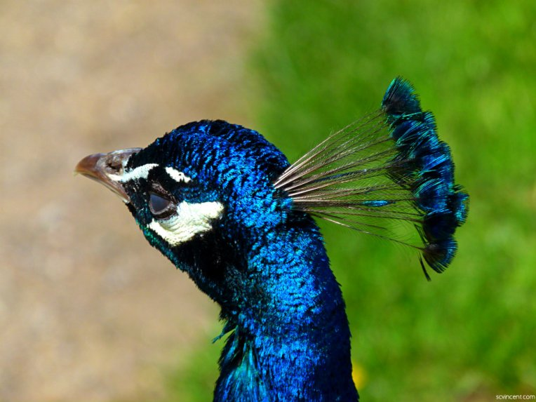 Peacock feathers (2)