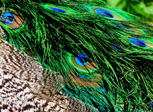 Peacock feathers (4)