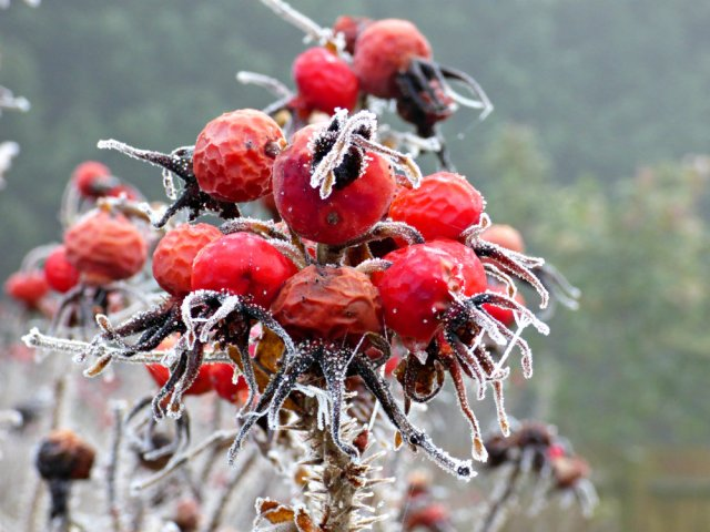 frosted-rosa-rugosa-hips-1